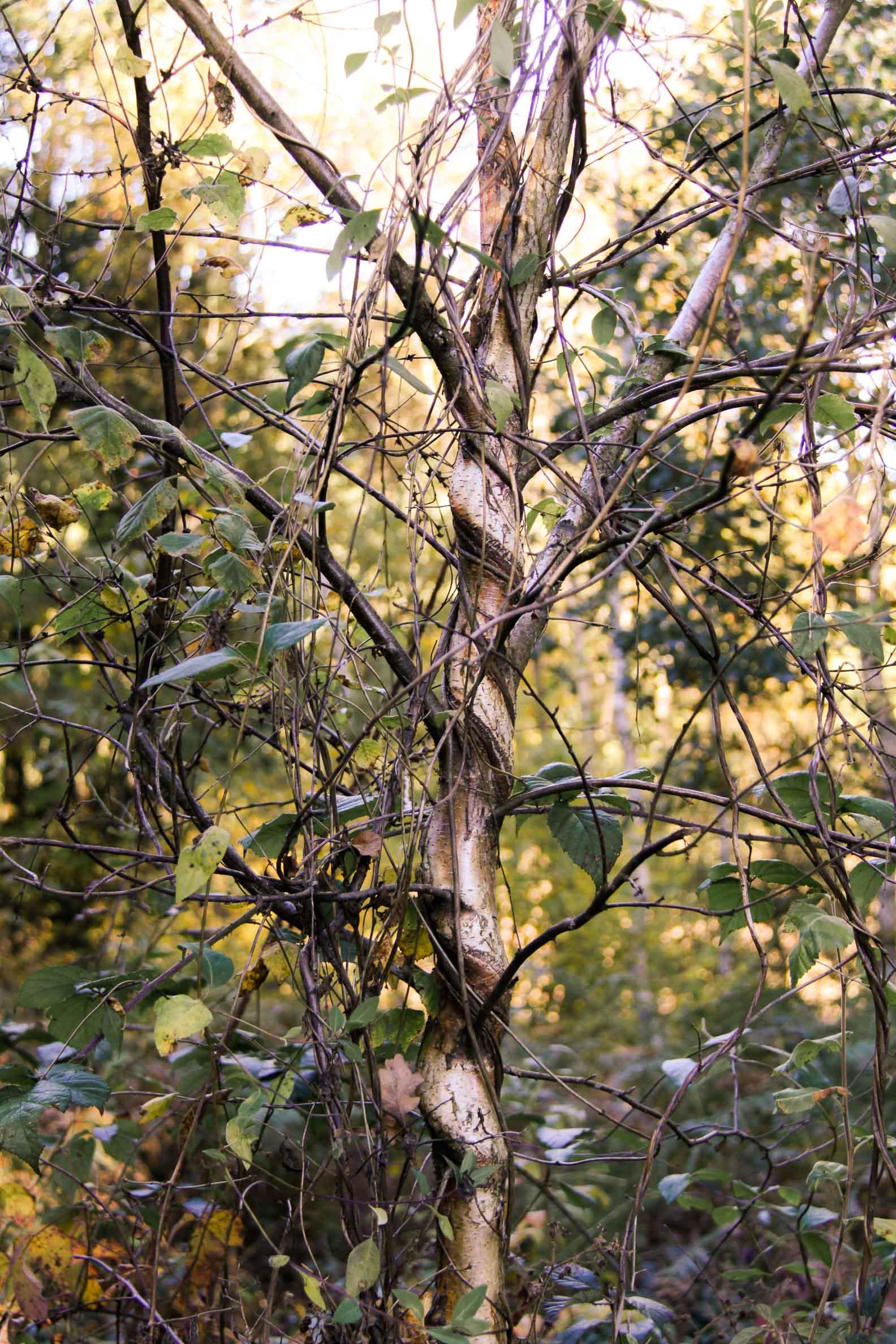 Flore Morvandelle : Arbres enlacés à Chamboux