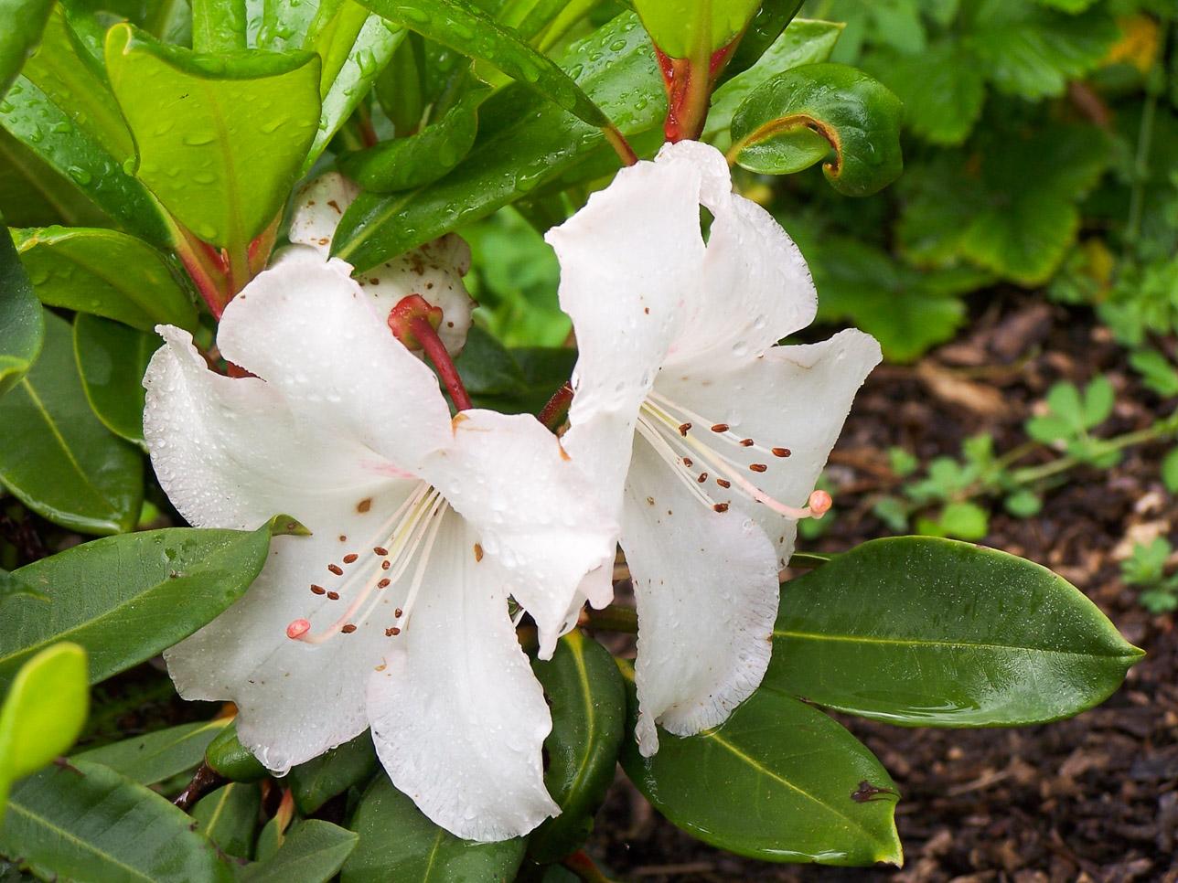 Flore Morvandelle : fleur à la Maison du Parc de Saint-Brisson