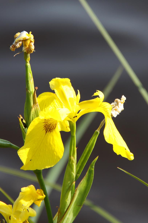 Flore Morvandelle : iris d'eau a l'étang du Goulot