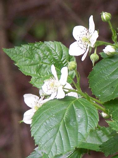 Flore Morvandelle : Fleurs de roncier en bord de Cure