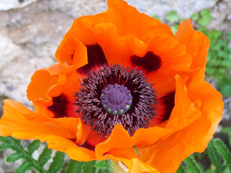 Flore Morvandelle : pavot cultivé