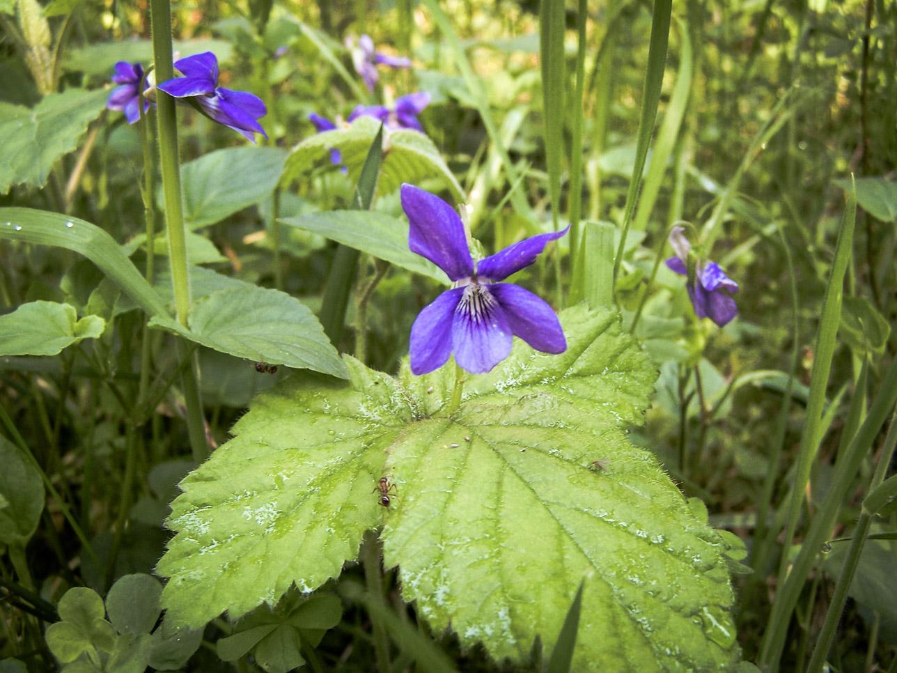 Flore Morvandelle : violettes en sous-bois