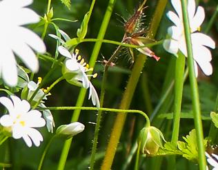 Flore Morvandelle: petite fleur champetre