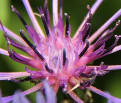 Flore Morvandelle : détail du cœur