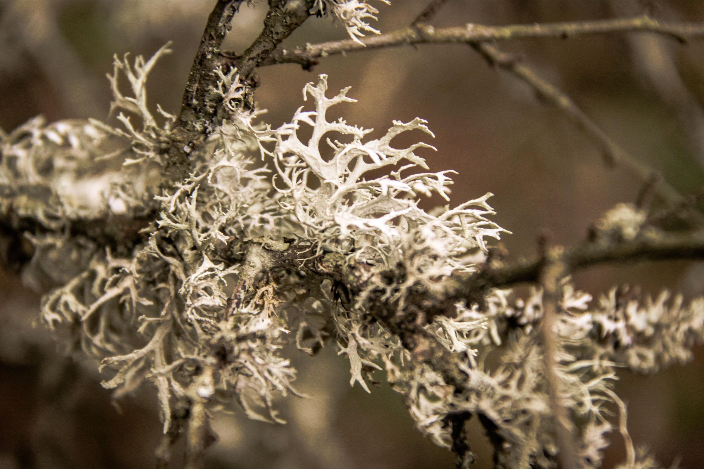 Flore Morvandelle : Lichen au lac de Chamboux
