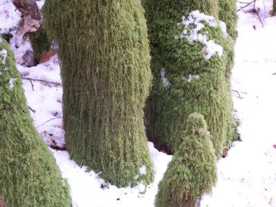 Flore Morvandelle : Mousse au pied des arbres le long de la Cure
