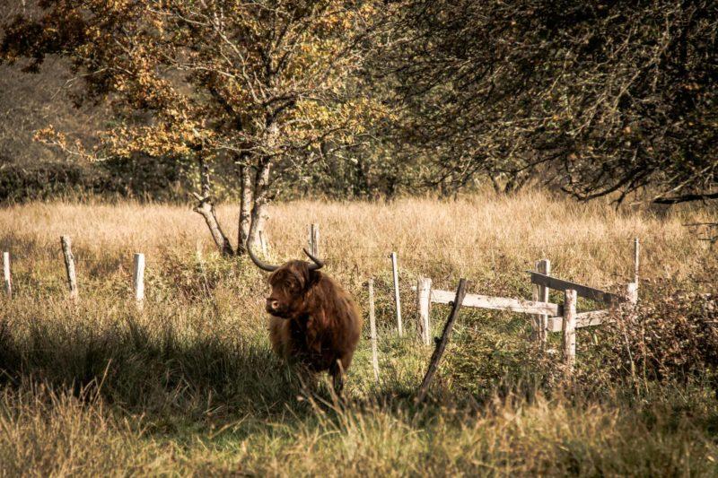 Faune Morvandelle : Tourbière de Montour bovins Highlands (1)