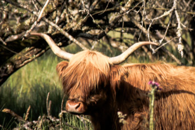 Faune morvandelle : Tourbière de Montour bovins Highlands (2)