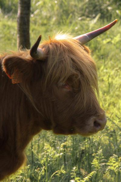 Faune Morvandelle : Tourbière de Montour bovins Highlands (3)