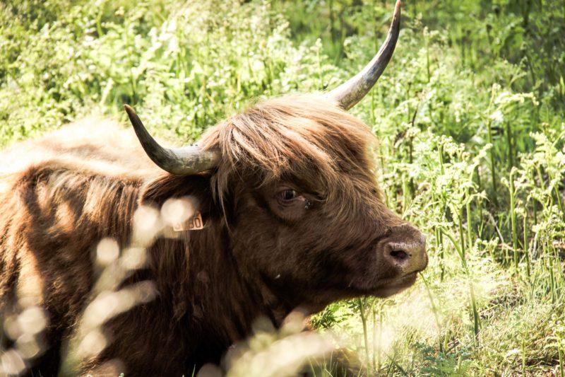 Faune morvandelle : Tourbière de Montour bovins Highlands (4)