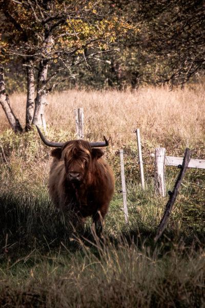 Faune Morvandelle : Tourbière de Montour bovins Highland