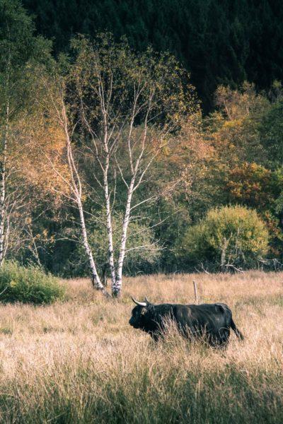 Faune Morvandelle : Tourbière de Montour bovins Highland (6)