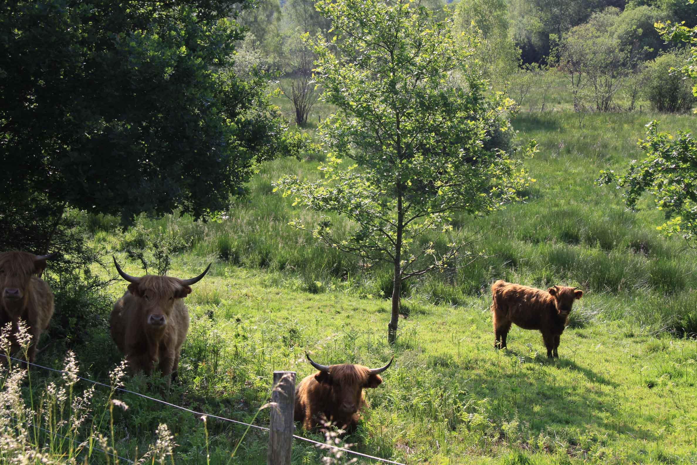 Paysages du Morvan : Tourbières de Montour bovins Highlands