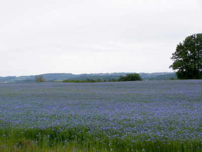 paysages remarquables de bourgogne : Champ de lin en fleur en pays Auxois (21)